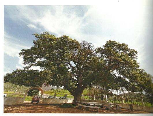 מקור: יעקב שקולניק (2008), מסע אל 101 עצים מופלאים בישראל, צילום: חנן ישכר, עם עובד, ע' 69.